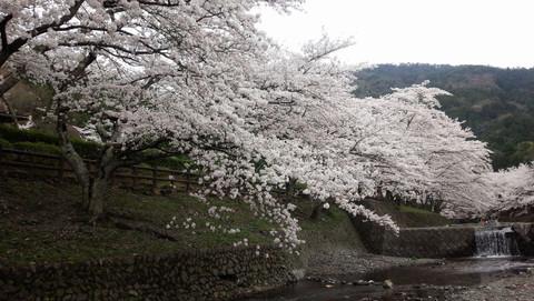 Kamesakura5