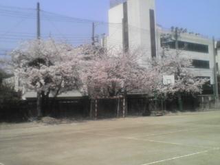 投票所の桜