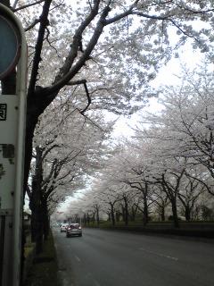 実家近くの桜満開
