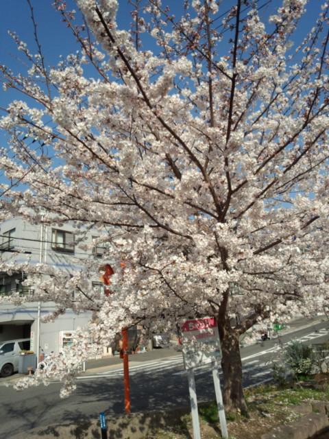 都賀川の桜満開